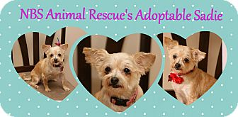 Maltese/Yorkie, Yorkshire Terrier Mix Dog for adoption in Troy, Michigan - Sadie