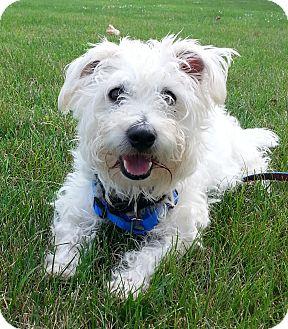 Westie, West Highland White Terrier/Poodle (Miniature) Mix Dog for adoption in GARRETT, Indiana - SCRUFFY