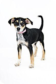 Australian Cattle Dog/Hound (Unknown Type) Mix Puppy for adoption in Barrie, Ontario - Prana