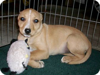 Chihuahua/Bull Terrier Mix Puppy for adoption in Liberty Center, Ohio - Lisa
