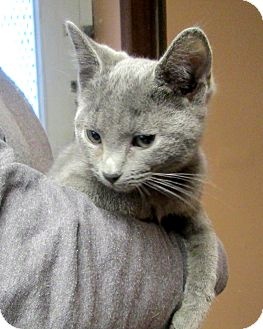 Russian Blue Cat for adoption in Olney, Illinois - Beach