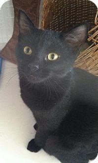 Domestic Shorthair Kitten for adoption in Gunnison, Colorado - Alexa