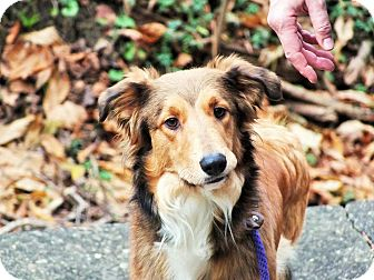 Collie Mix Dog for adoption in Lebanon, Connecticut - Tee