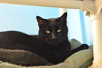 Domestic Shorthair Cat for adoption in Beacon, New York - Betty