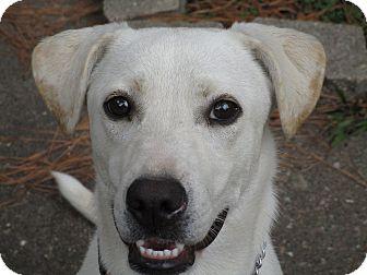 Labrador Retriever Mix Puppy for adoption in Boston, Massachusetts - A - SOPHIA aka SOPHIE