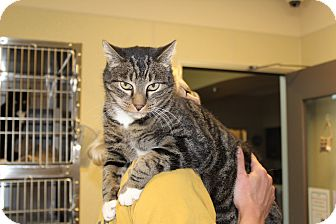 Domestic Shorthair Cat for adoption in Yucca Valley, California - Sammy Jolly Hardy