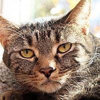 Adopt A Pet :: AMBER - Royal Oak, MI