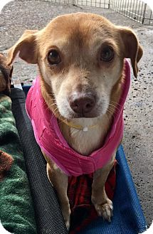 Chihuahua Mix Dog for adoption in Pittsburgh, Pennsylvania - Zelda