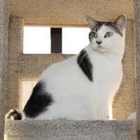 Domestic Shorthair/Domestic Shorthair Mix Cat for adoption in Greensboro, Georgia - Snoopy