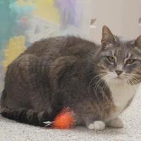 Adopt A Pet :: Billie Madison - Warren, MI