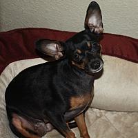 Miniature Pinscher Mix Dog for adoption in Henderson, Nevada - Roxanne