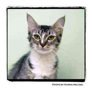 Domestic Longhair Cat for adoption in Warren, Pennsylvania - Princess