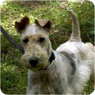 Wirehaired Fox Terrier Dog for adoption in Washington, North Carolina - Ollie