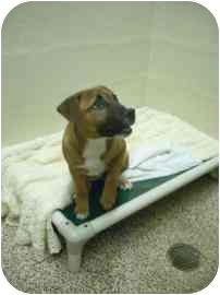 Terrier (Unknown Type, Medium) Mix Puppy for adoption in North Charleston, South Carolina - Tawni