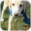 Photo 3 - Labrador Retriever Puppy for adoption in Pawling, New York - MOLLY