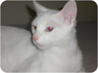 Domestic Shorthair Cat for adoption in lake elsinore, California - Bella