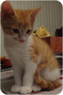 Domestic Shorthair Kitten for adoption in Parkton, North Carolina - Winnie