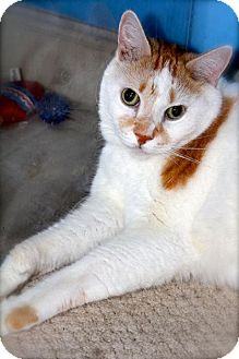 American Shorthair Cat for adoption in Boynton Beach, Florida - Pickles