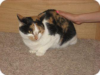 Domestic Shorthair Cat for adoption in Des Moines, Iowa - Diamond