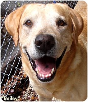 Labrador Retriever Dog for adoption in Key Largo, Florida - Bailey