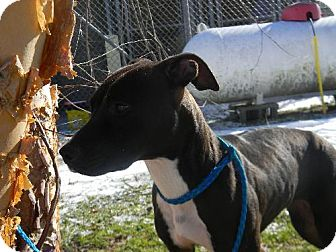 Whippet/Bull Terrier Mix Dog for adoption in Tyner, North Carolina - Stacey