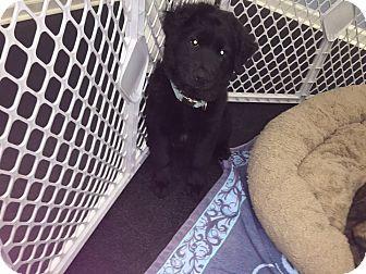 Newfoundland Mix Puppy for adoption in Jupiter, Florida - Jack