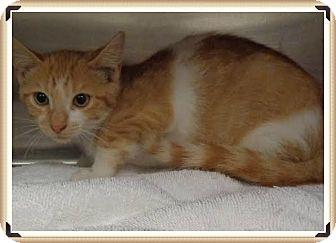 Domestic Shorthair Kitten for adoption in Marietta, Georgia - SPARKY (R)