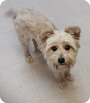 Maltese/Yorkie, Yorkshire Terrier Mix Dog for adoption in Avon, New York - Buffy