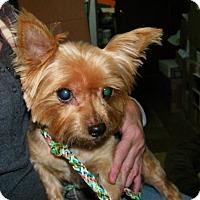 Adopt A Pet :: Scarlett - Mount Gretna, PA