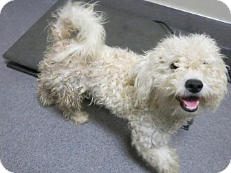 Poodle (Miniature)/Maltese Mix Dog for adoption in Manteca, California - Chester