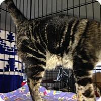 Adopt A Pet :: Gumbo - Dallas, TX
