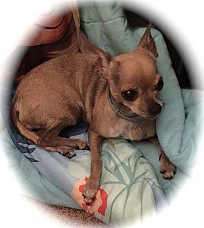 Chihuahua Dog for adoption in Blanchard, Oklahoma - Mocha
