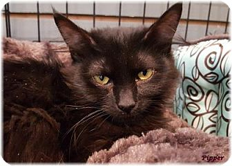 Domestic Mediumhair Cat for adoption in Welland, Ontario - Pipper