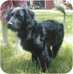 Flat-Coated Retriever/Labrador Retriever Mix Dog for adoption in Rockville, Maryland - Sidney