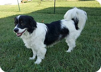 Cavalier King Charles Spaniel Mix Dog for adoption in New Oxford, Pennsylvania - Levi