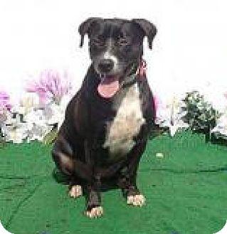 Labrador Retriever/Pointer Mix Dog for adoption in Lebanon, Maine - Alice