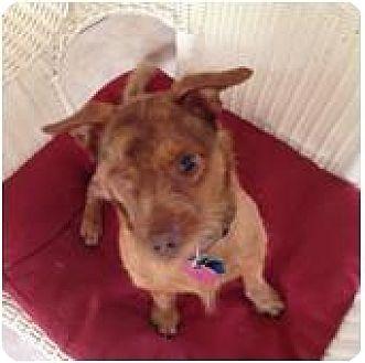 Cairn Terrier/Terrier (Unknown Type, Medium) Mix Dog for adoption in ROSENBERG, Texas - Willie