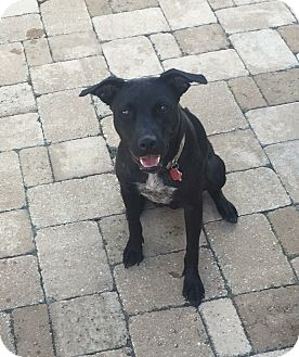 Labrador Retriever/American Staffordshire Terrier Mix Dog for adoption in Pittsburgh, Pennsylvania - Sealy
