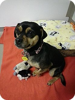 Miniature Pinscher/Chihuahua Mix Dog for adoption in Crested Butte, Colorado - Shirley