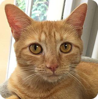 Domestic Shorthair Cat for adoption in Norwalk, Connecticut - Misdeed