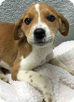 Labrador Retriever Mix Puppy for adoption in Gahanna, Ohio - ADOPTED!!!   Iris