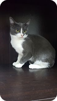 Domestic Shorthair Kitten for adoption in Albemarle, North Carolina - Dwight D Eisenhower