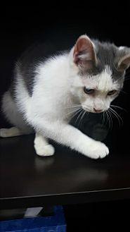 Russian Blue Kitten for adoption in Albemarle, North Carolina - Lyndon Johnson
