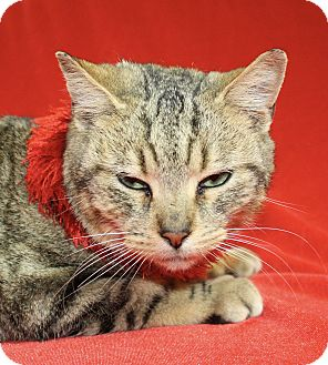 Domestic Shorthair Cat for adoption in Jackson, Michigan - Betty