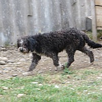 Poodle (Standard) Dog for adoption in Ocean Springs, Mississippi - Zara