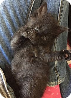 Domestic Longhair Kitten for adoption in Tampa, Florida - Scarlet O'Hairy