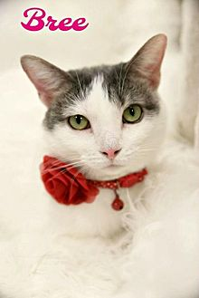 Domestic Shorthair Cat for adoption in Knoxville, Tennessee - Bree Female