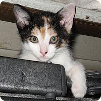 Adopt A Pet :: Trixie - Harmony, NC