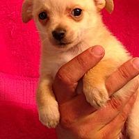 Adopt A Pet :: Captin Morgan - st. pete., FL