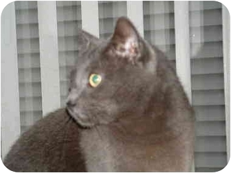 Russian Blue Cat for adoption in Newburgh, New York - Smokey Joe